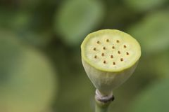 Lotus Seeds. Seed Cup of a lotus flower Royalty Free Stock Photos