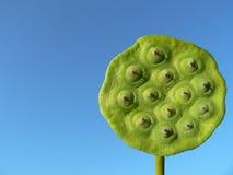 Lotus Seeds. Seed Pod of Lotus Flower royalty free stock photo
