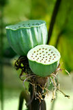 Lotus seeds Royalty Free Stock Photo