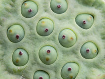 Lotus seeds Stock Photography