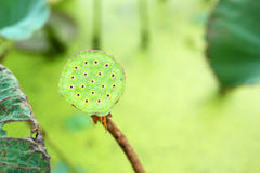 Lotus seeds in the nature Stock Images