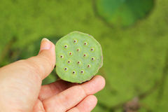 Lotus seeds in the nature Stock Image