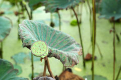 Lotus seeds in the nature Stock Photos