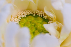 Lotus seeds pod and petal Stock Photography