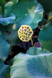 The lotus seeds in zoo Stock Photography