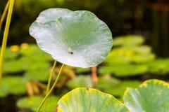 Lotus-Seerose auf Teich Stockfotografie