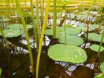 Lotus, Seerose mit Wassertropfen des Pfund stockbild