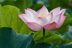 Lotus - The Sense of Enlightenment Royalty Free Stock Photos