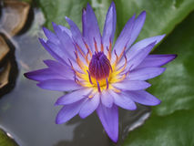 Lotus. Serene beauty on the water Royalty Free Stock Images