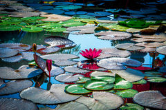 Lotus. The serpent is the sacred or holy creatures respected people in Asia from the past to the present Stock Images