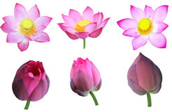 Lotus Set Royalty Free Stock Photos