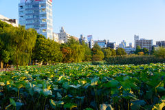 Lotus at the Shinobazu Pond. Of the Ueno Park in Tokyo, Japan Stock Photography
