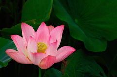 Lotus. The lotus shoot in Taiwan ,city name is  Taoyuan,Nelumbo nucifera Stock Photography
