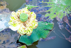 Lotus shower stock photos