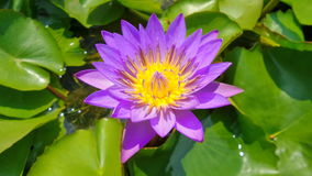Lotus Siam Images libres de droits