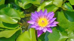 Lotus Siam Photo stock