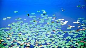 Lotus sidor över sjön, Rajasthan, Indien Arkivfoto