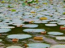 Lotus sidor i en sjö Royaltyfri Foto