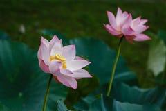 Lotus - simbolo di The Sun Fotografia Stock Libera da Diritti