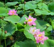 Lotus sjö i Vladivostok Lotus blom i den Primorsky regionen royaltyfria bilder