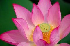 Lotus, sluit omhoog Stock Foto
