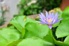 Lotus. Small lotus pond with beautiful purple lotus Stock Photo
