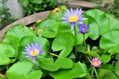 Lotus. Small lotus pond with beautiful purple lotus Royalty Free Stock Images