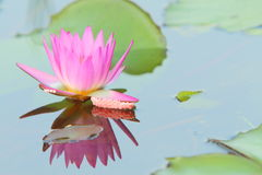 Lotus & Snail Eggs Stock Images
