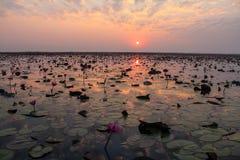 Lotus solnedgång Royaltyfria Bilder