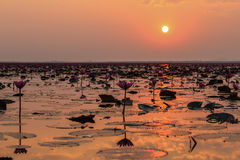 Lotus solnedgång Arkivbild
