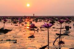 Lotus solnedgång Arkivbilder