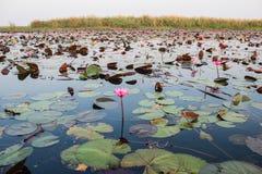 Lotus solnedgång Royaltyfri Fotografi