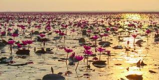 Lotus solnedgång Arkivfoton