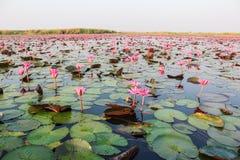 Lotus solnedgång Royaltyfri Foto