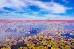 Lotus som blommar på en stor sjö i Thailand Royaltyfria Foton