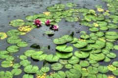 Lotus sous la pluie