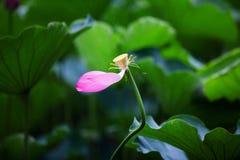 Lotus sous la pluie Photo libre de droits