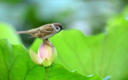 Lotus on the sparrow Stock Image