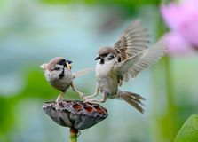 Lotus and sparrows Stock Photos