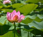 Lotus - the spirit bright and clear, not subject to any dirt or silt. stock photography