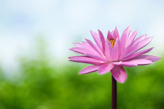 Lotus on spring background Stock Photos