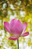 Lotus with spring Royalty Free Stock Image
