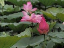 Lotus-Stand allein Stockfoto
