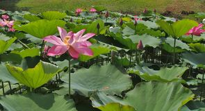 Lotus-Stand allein Stockbild