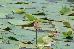 Lotus Starting-Produktionsstufe Lizenzfreies Stockbild