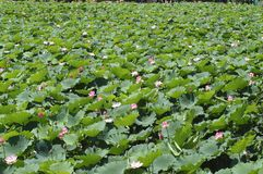 lotus staw Obraz Royalty Free
