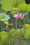 lotus staw Fotografia Stock