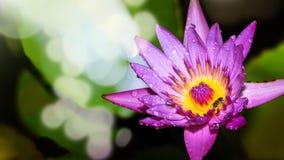 Lotus - Stock Image Stock Photos