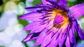 Lotus - Stock Image Stock Photo