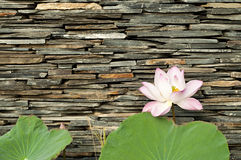 Lotus with stone wall background. Stock Photos